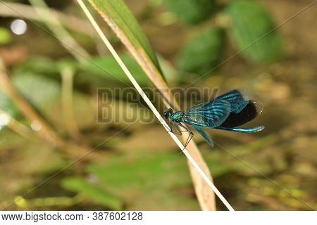 Banded Demoiselle Holding A Blade Of Grass Above The Water By The River