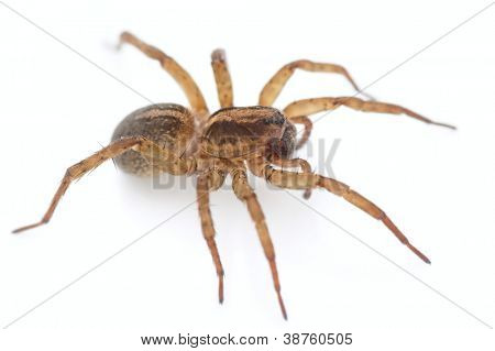 Live spider isolated on white background, macro shot
