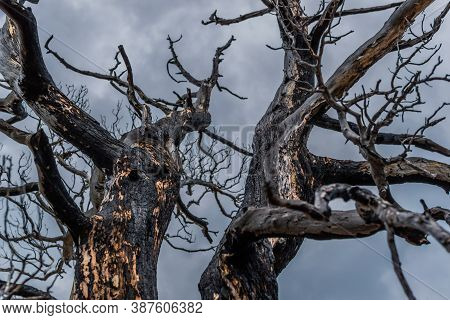 Beautiful Twisted Crooked Dry Bare Dead Tree After Fire. Red Dark Black Bark With Soot Textured Trun