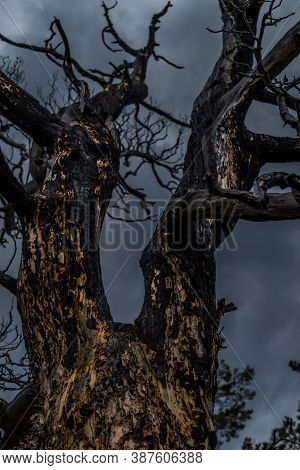 Beautiful Twisted Crooked Dry Bare Dead Tree After Fire. Red Black With Soot Textured Bark Of Trunk.
