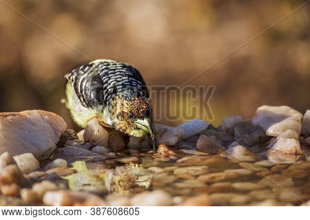 Crested Barbet Drinking At Waterhole In Kruger National Park, South Africa ; Specie Trachyphonus Vai