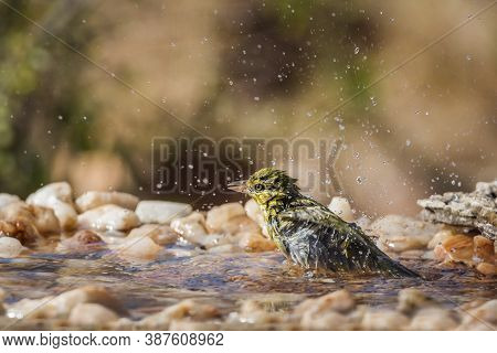 Lesser Masked Weaver Bathing In Waterhole In Kruger National Park, South Africa ; Specie Ploceus Int