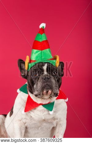 Elf - French Bulldog Dressed Up As A Christmas Elf On A Red Background.
