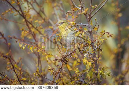 Village Weaver In Fall Colors Shrub In Kruger National Park, South Africa ; Specie Ploceus Cucullatu