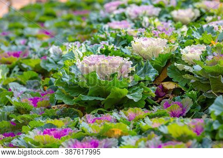 Ornamental Decorative Cabbage. Flowering Plants. Multicolored Cabbage Field. Natural Abstract Autumn
