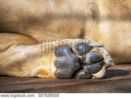 The Foot Of The Lion's Hind Paw Against The Background Of The Animal's Belly. Leo Rests Lying Down.