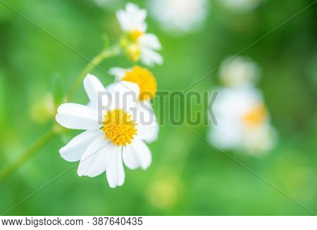 Cosmos Bipinnatus Is Considered A Half-hardy Annual, Cosmos Flower White On Blurred Background, Sele