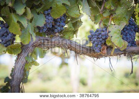 Viñedo con exuberante, maduras uvas en la vid listo para la cosecha.