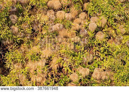 Atragene Yellow. Climbing Ornamental Garden Plant In Autumn.