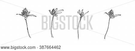 Hand Drawn Meadow Flower Collection. Outline Clover With Leaves Painted By Ink. Black Isolated Sketc