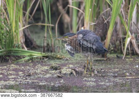 Green Heron Bird At Richmond Bc Canada,