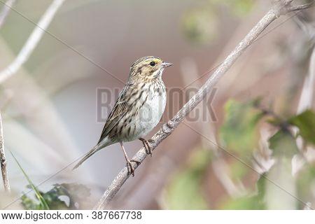 Savannah Sparrow Bird  At Richmond Bc Canada,