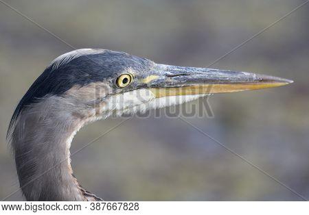 Great Blue Heron  At Richmond Bc Canada,