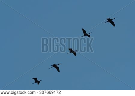A Group Of Five Ibis Birds Silhouetted Against A Clear Sky As They Fly Together In Formation While M