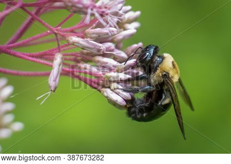 An Eastern Carpenter Bee (xylocopa Virginica) Works To Pollinate Some Milkweed Blooms. Raleigh, Nort
