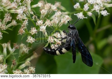 A Double-banded Scoliid Wasp (scolia Bicincta) Works On Pollinating Summertime Blooms. Raleigh, Nort
