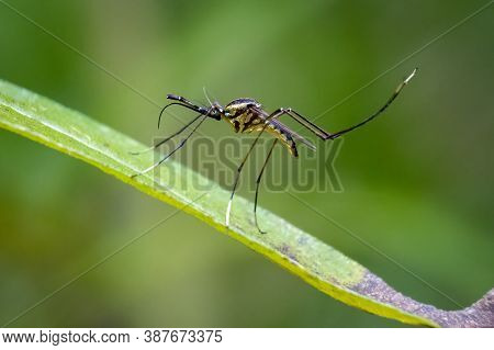 Close Up Of A Subspecies Of Elephant Mosquitos (toxorhynchites Rutilus Septentrionalis), Which Is Kn