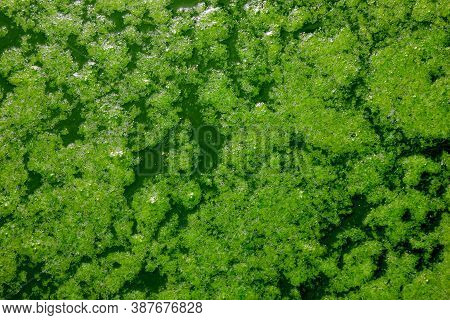 Patterns Of Green Algae On The Water. Green Water. View From Above. Algae. Background. Texture. Abst