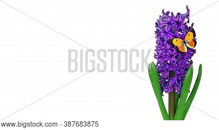 Colorful Orange Butterfly On A Flower. Blue Hyacinth Flower Isolated On White. Bright Colorful Sprin