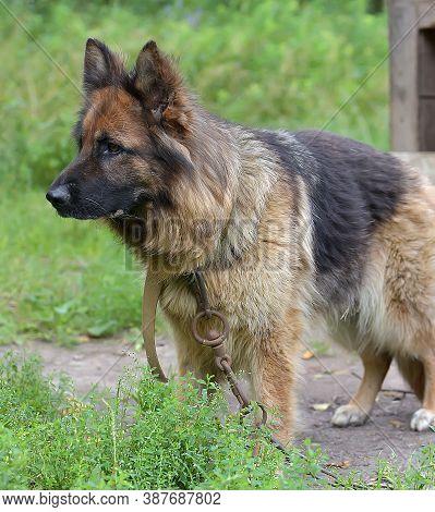 Beautiful Young Brown German Shepherd Dog Close Up. Alsatian Wolf Dog Or German Shepherd Dog On Gree