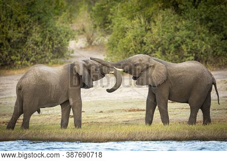 Two Young Elephants Playing Near The Edge Of Chobe River In Botswana