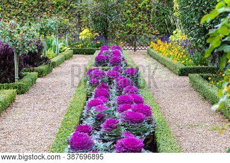 Graden Design With Purple Ornamental Cabbage Or Brassica Oleracea