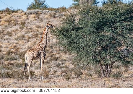 A South African Giraffe Browsing On A Tree In The Arid Kgalagadi