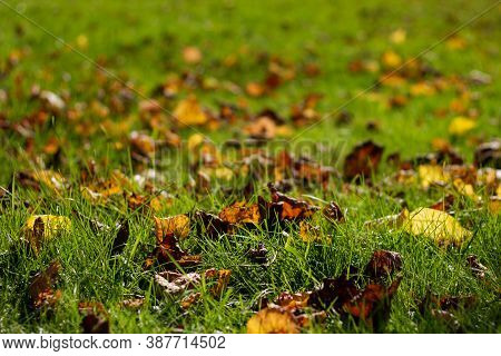 Nature Background. Autumn Yellow Leaves On Green Grass. Close Up. Dry Leaves On The Lawn.