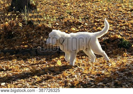 Polish Tatra Shepherd Dog Puppy Walking On The Fallen Leaves In A Park On A Sunny Autumn Day.