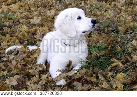 Polish Tatra Shepherd Dog Puppy Lies On The Fallen Leaves In A Park On A Sunny Autumn Day.