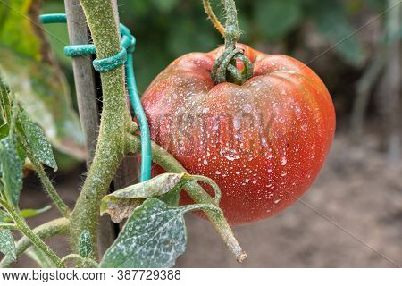 Sprayed Tomatoes With Pesticides, Herbicides And Insecticides
