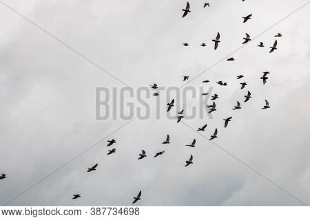 Many Pigeons Birds Flying In The Cloudy Sky