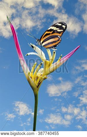 Painted Lady Butterfly Vanessa Cardui On A Parrot\'s Beak Heliconia Flower Latin Name Heliconia Psit