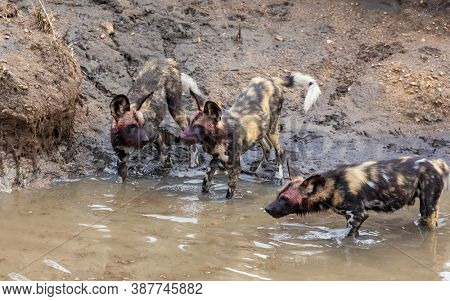 A group of African wild dogs, otherwise known as a painted wolf, in a stream in Kruger National Park, South Africa. This pack animal is now and endangered species. FOCUS ON CENTRE DOG.