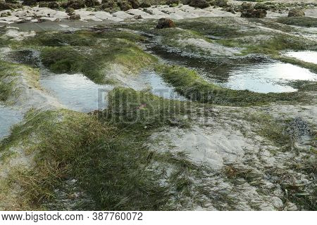 Seagrass On Shoreline Of The Sea At Low Tide During Sunset, Lombok, Indonesia. Lonely Beach With Whi