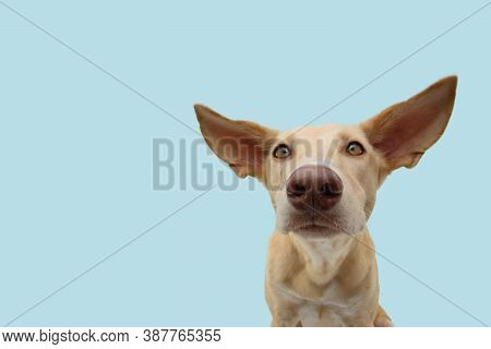 Attentive And Listening Puppy Hound Dog With Big Ears. Isolated On Blue Colored Background.