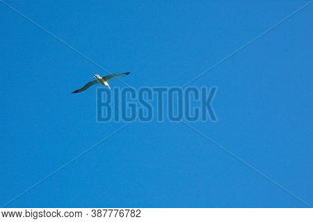 The Northern Royal Albatross Or Toroa (diomedea Sanfordi) In Taiaroa Head, Otago Peninsula, New Zeal
