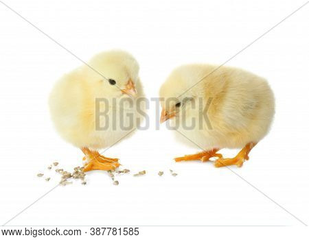 Cute Fluffy Baby Chickens With Millet Groats On White Background. Farm Animals