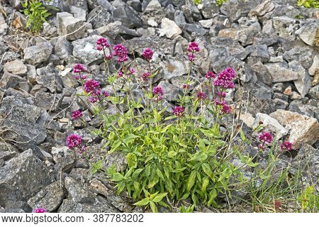 Red Valerian (centranthus Ruber) Growing On The Ramparts Of Worlebury, An Iron Age Hillfort In Somer