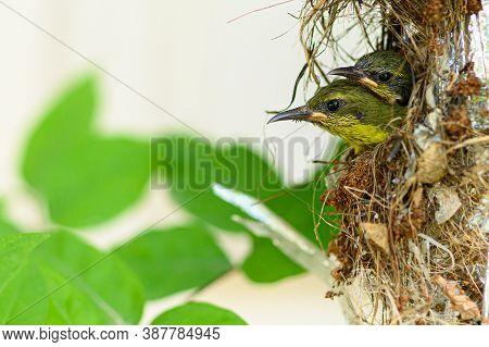 Baby Bird In A Nest At Thailand. Olive-backed Sunbird, Yellow-bellied Sunbird, Cinnyris Jugularis, N