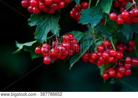 Red Berries Of European Cranberrybush Or Guelder Rose (viburnum Opulus)