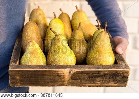 Fresh Pears In Male Hands. Juicy Flavorful Pears In Box, Basket. Organic Fruit For Food Or Pear Juic
