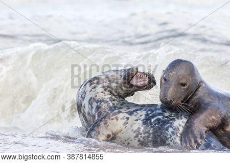 Seals Mating. Animal Courtship As Pair Of Grey Seal Lovers Play Bond In Sea Water. Beautiful Wildlif