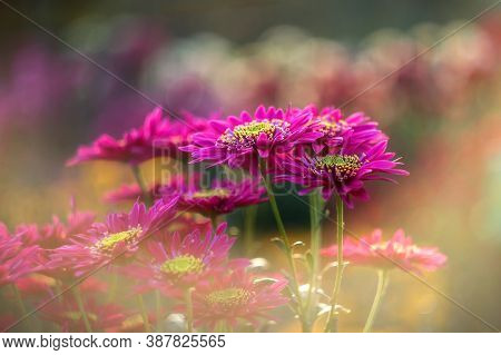 Magenta Chrysanthemums On A Blurry Background Close-up. Beautiful Bright Chrysanthemums Bloom In Aut