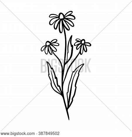 Dangelion Outline Hand Drawn Logo Element. Herbs Doodle Botanical Icon Dangelion For Logo. Herbal An