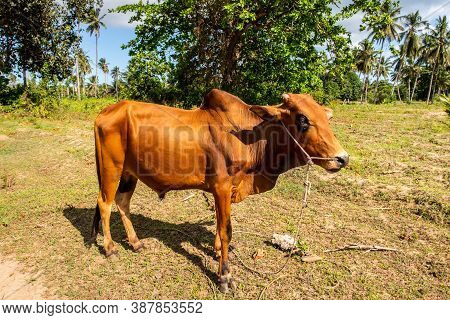 Single Zebu Cow (bos Taurus Indicus), Sometimes Known As Indicine Cattle Or Humped Cattle, Grazing O