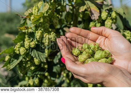 Female Hands Holding Green Hop Cones. Green Hops For Beer. Harvesting Ripe Hop Cones On Hop Plant.