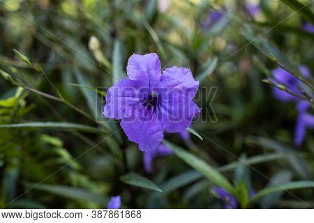 Close Up Of Ruellia Simplex In Tropical Garden. Mexican Petunia, Mexican Bluebell Or Britton's Wild