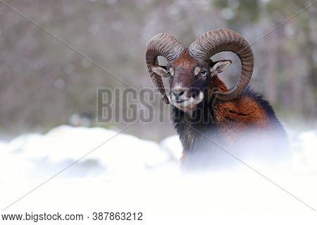 Mouflon Ram Looking On Meadow In Wintertime Nature.