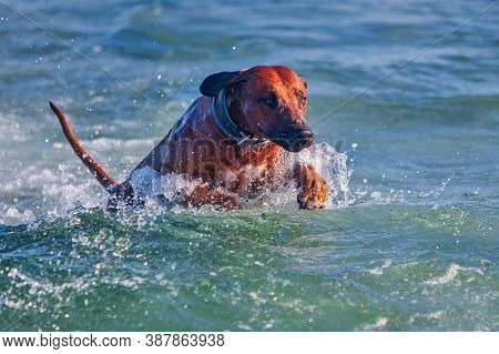 Active Athletic Dog Rhodesian Ridgeback Running At The Sea